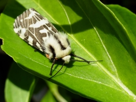 Funky Black and White Tiger Moth chilling out on a Chili leaf